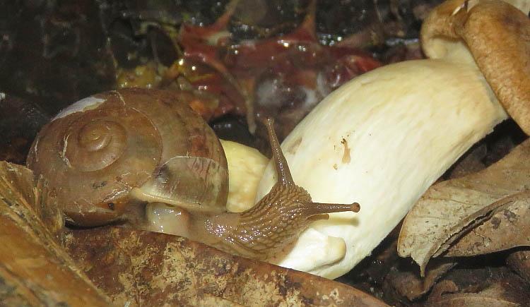 Terrestrial snail eating a mushroom.
