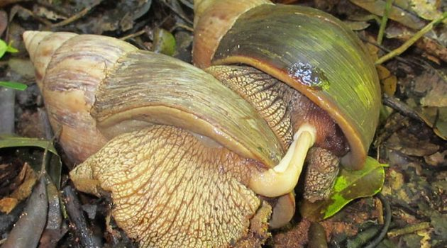 Reproduction in gastropods (Mozambique land snails)
