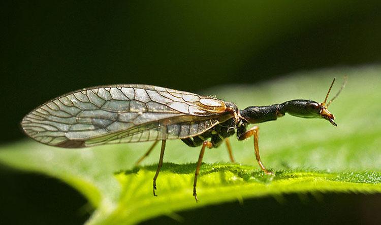 male snakefly