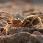 Solifugae: Formidable Order Of The Sun Spider & Wind Scorpion