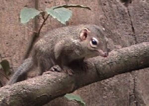 A Tree Shrew