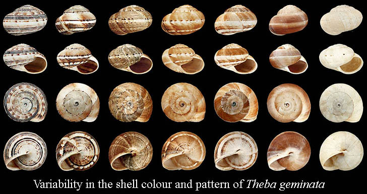 Shell of Theb geminata showing variation in gastropod shell colour and pattern.