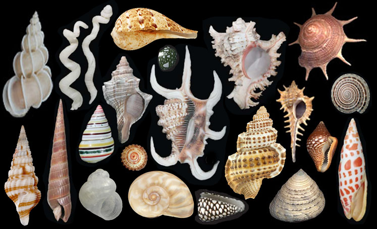 A selection of Gastropod Shells