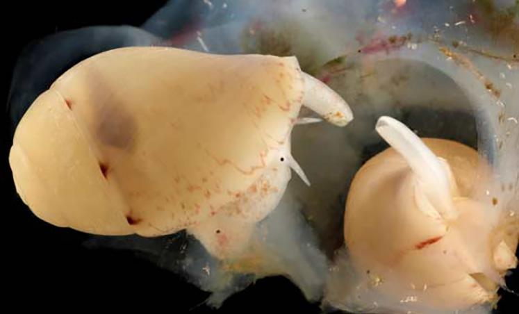 Juveniles of Voluta magnifica hatching.