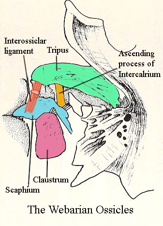 Diagram of the Weberian Ossicles.