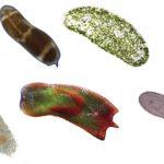 Phylum Xenocoelomorpha; Simple marine worms