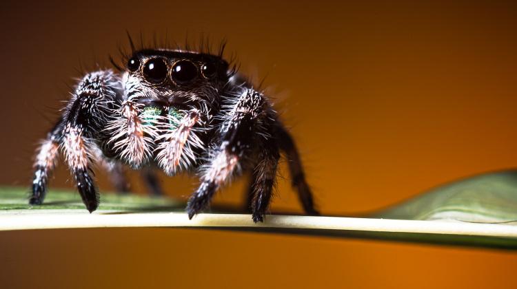 arachnid jumping spider