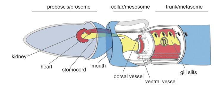 acorn worm anatomy