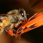 Africanized Bees 101: What Turned Honey Bees Into Killers?