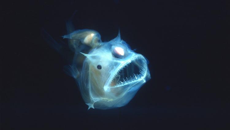 angler fish light
