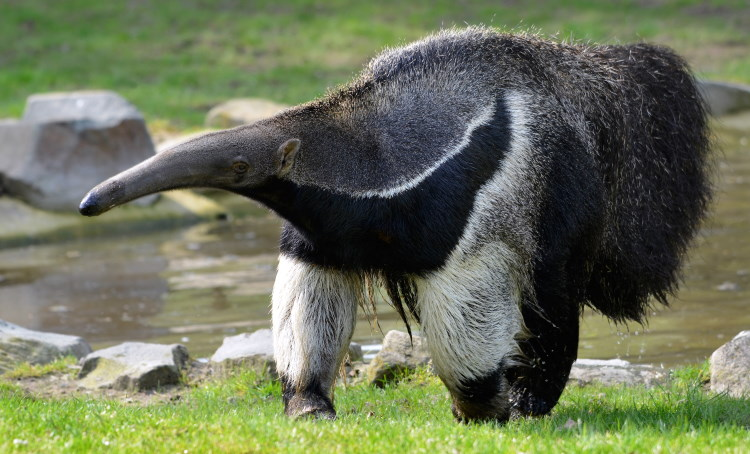 giant anteater fact