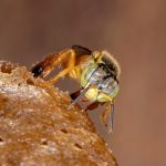 Apidae: A Family Of Social & Sometimes Stingless Bees