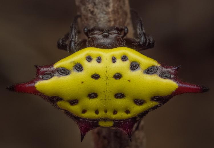 Arachnida Araneae Gasteracantha sp.