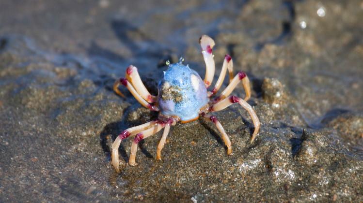 arthropod crab