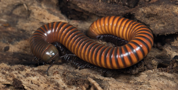 millipede invertebrate