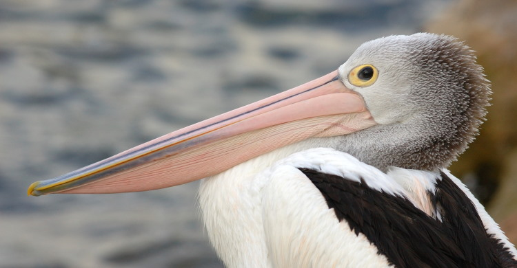 largest bill bird fact