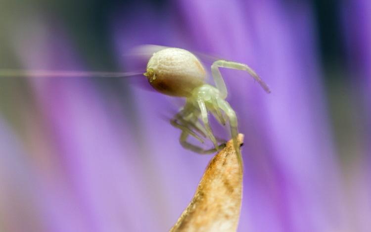 Misumena vatia spider balooning
