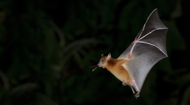 fruit bat flight at night