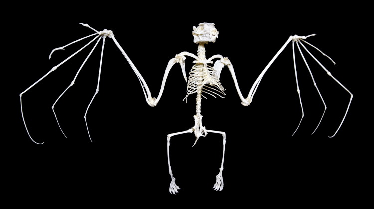 bat anatomy skeleton feature