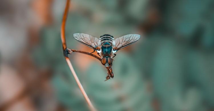 Bombyliidae Villa cingulata
