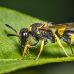 Solitary Wasps 101: The Bee Wolf and Other Wonders