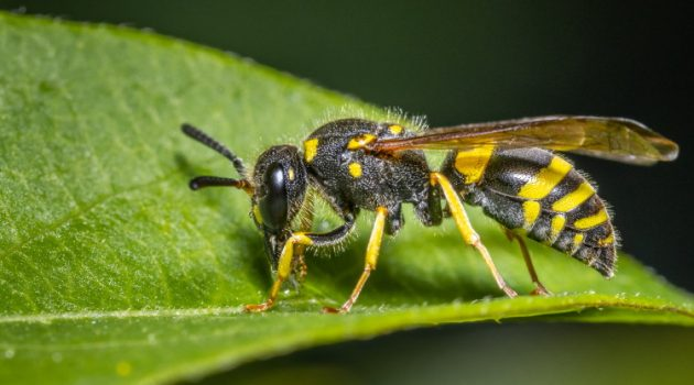 beewolf solitary wasp on leaf