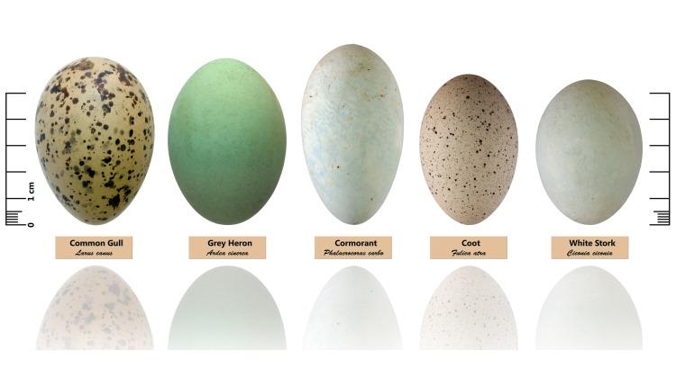 bird eggs collection