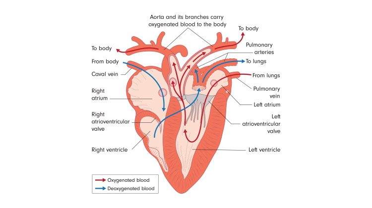 bird heart diagram