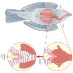 The Bird Respiratory System & Lungs: How A Bird Breathes Explained