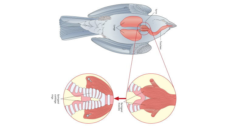 bird lungs diagram