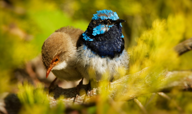extra pair copulations in fairy wrens