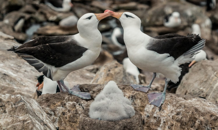 monogamy in albatross birds
