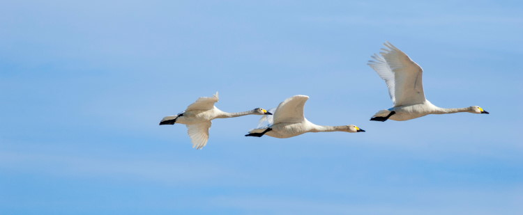 swans migrating