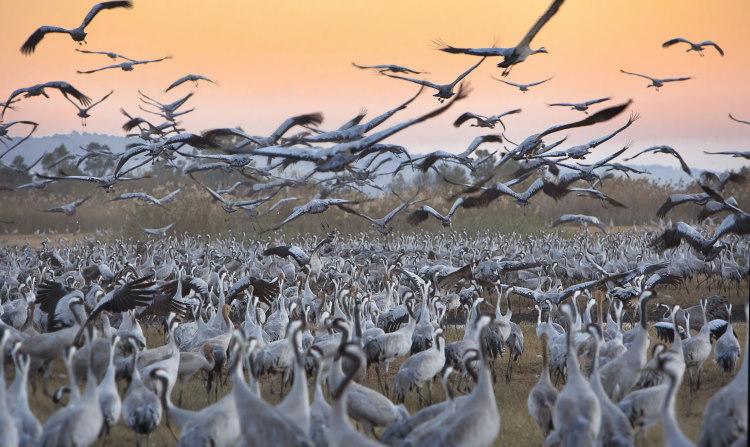crane birds migration