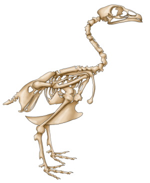 bird skeleton image