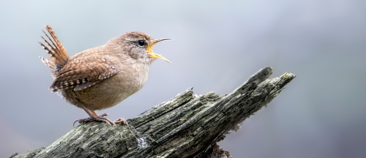 song of wren bird