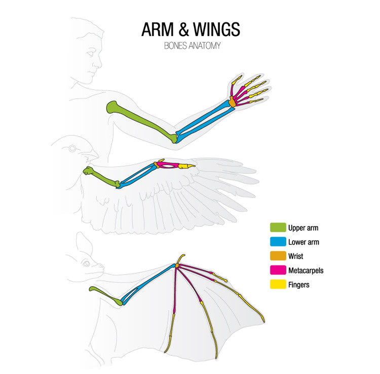 bird wing anatomy
