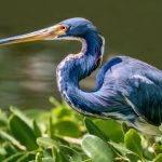 Ardeidae: The Family Of Herons & Egrets