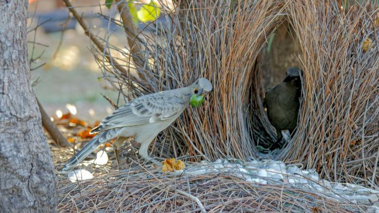 bower nest