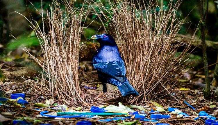 bowerbird territory mating system