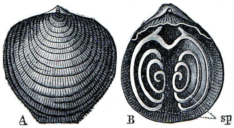 Brachiopod Atypa reticularis shell
