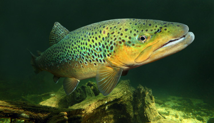 brown trout fish movement