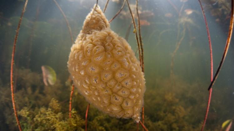 bryozoan colony freshwater