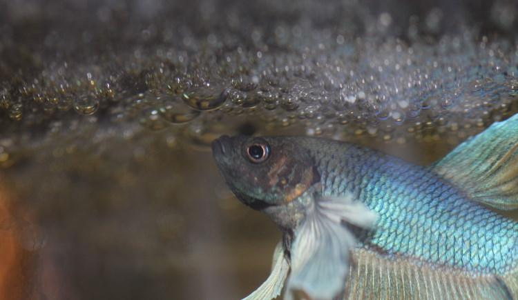 bubble fish nest