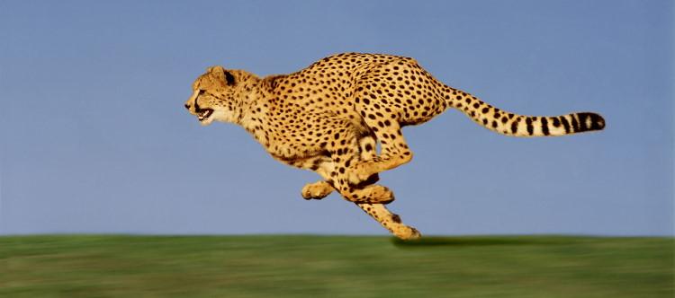 fastest mammal cheetah running