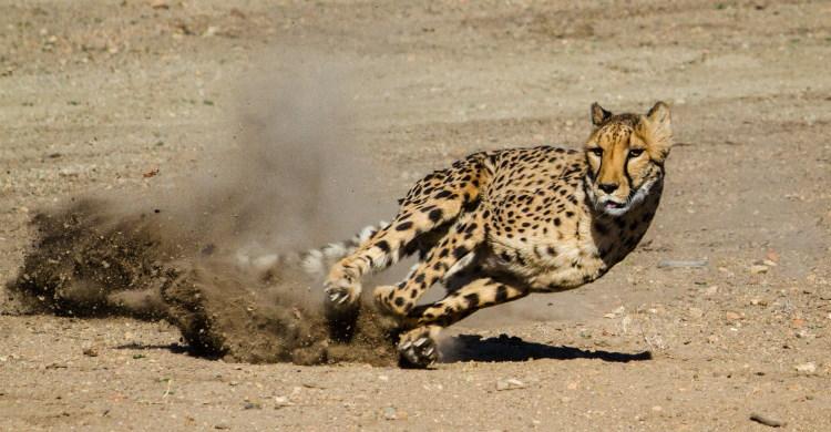 cheetah family felidae