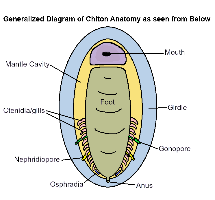 chiton anatomy diagram