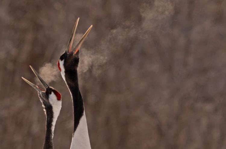 cranes singing