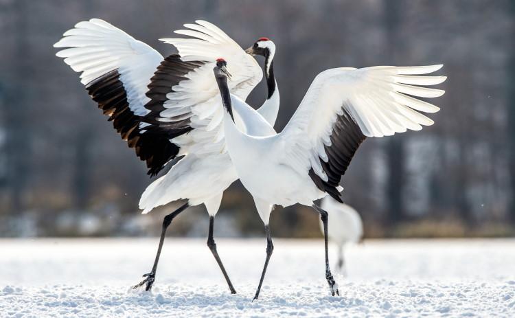 dancing crane birds