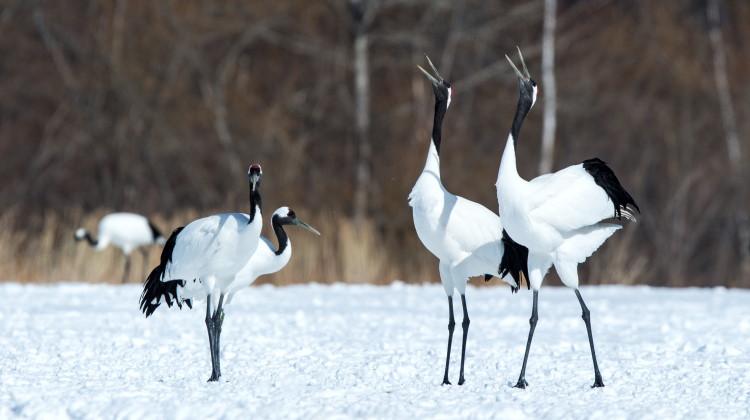 crane birds calling